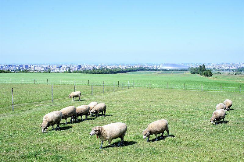 羊ヶ丘展望台から奥に広がる札幌の街並みと羊たちの群れ
