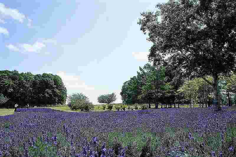 羊ヶ丘展望台のラベンダー畑