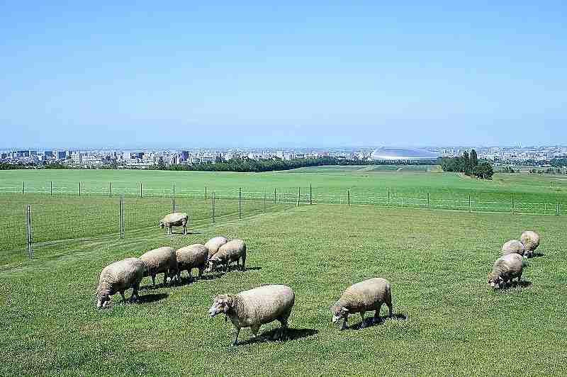 羊ヶ丘展望台の羊たち