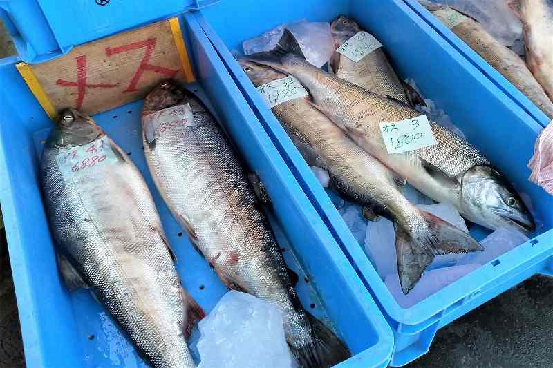 厚田港朝市の鮭(秋味)