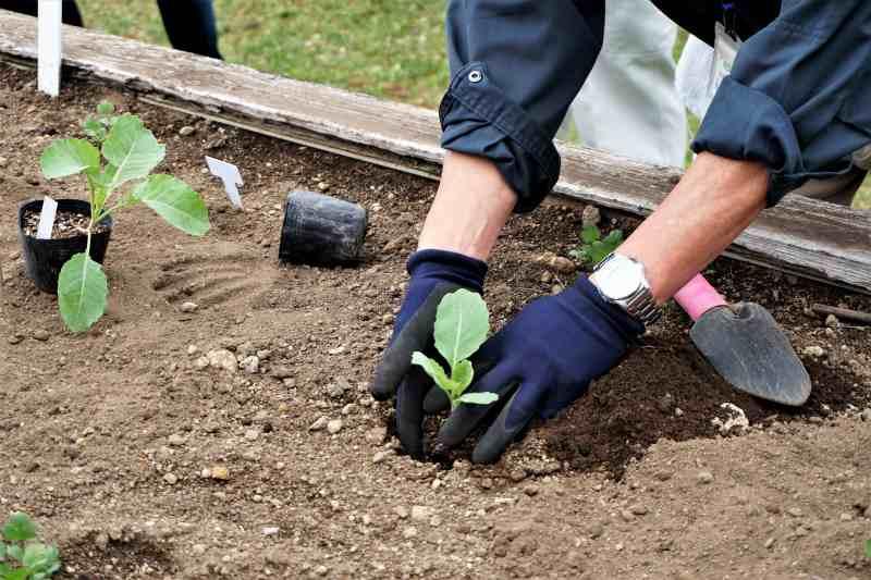 札幌大球の苗の定植