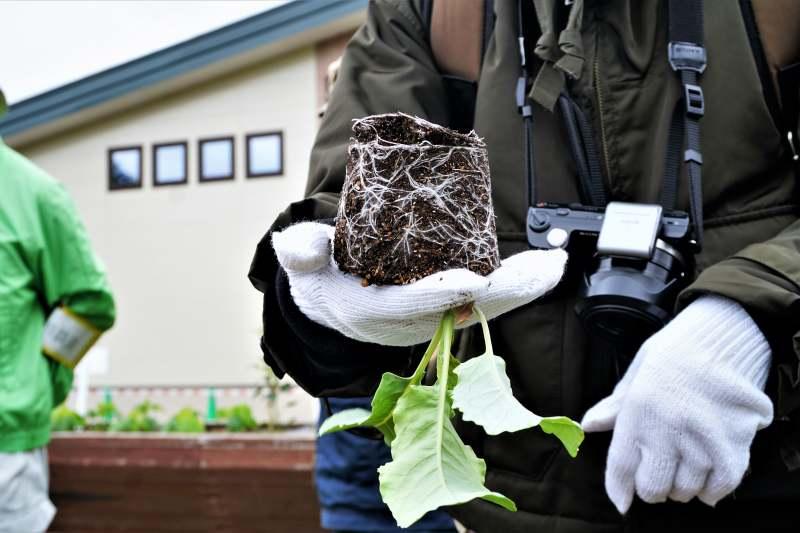びっしりと根が張り巡らされた札幌大球の苗