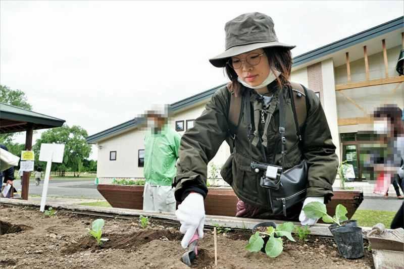 札幌大球 の 苗の定植作業