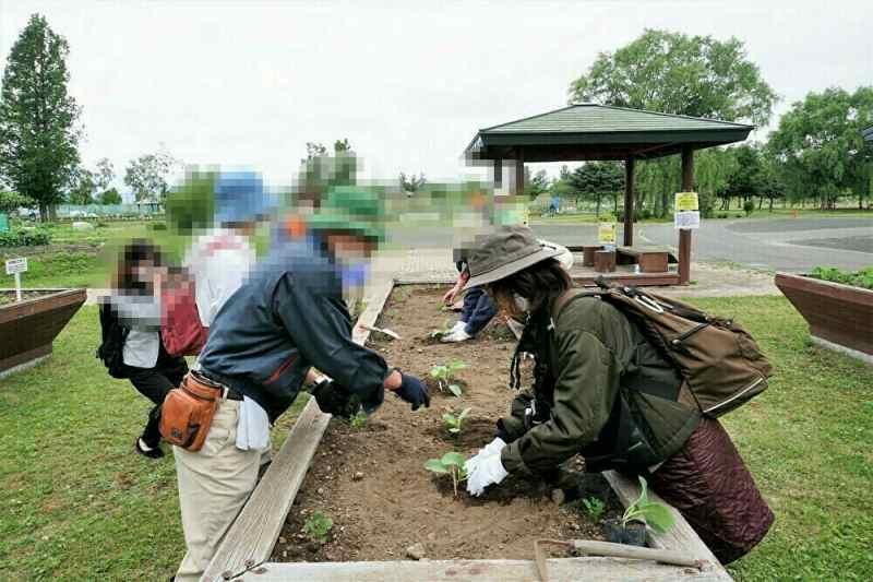 札幌大球の苗の定植の様子