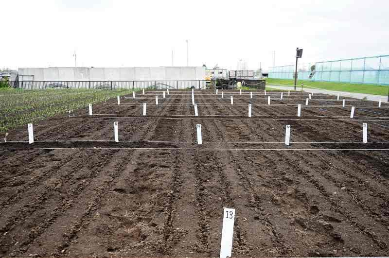 札幌黄オーナー制度の畑