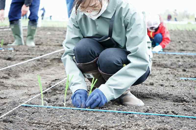 札幌黄の苗を植えている様子