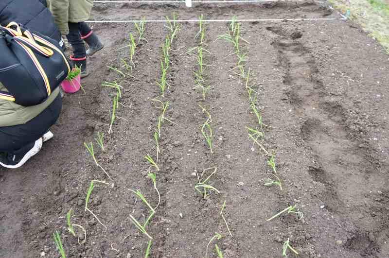 札幌黄の苗を植えた畑