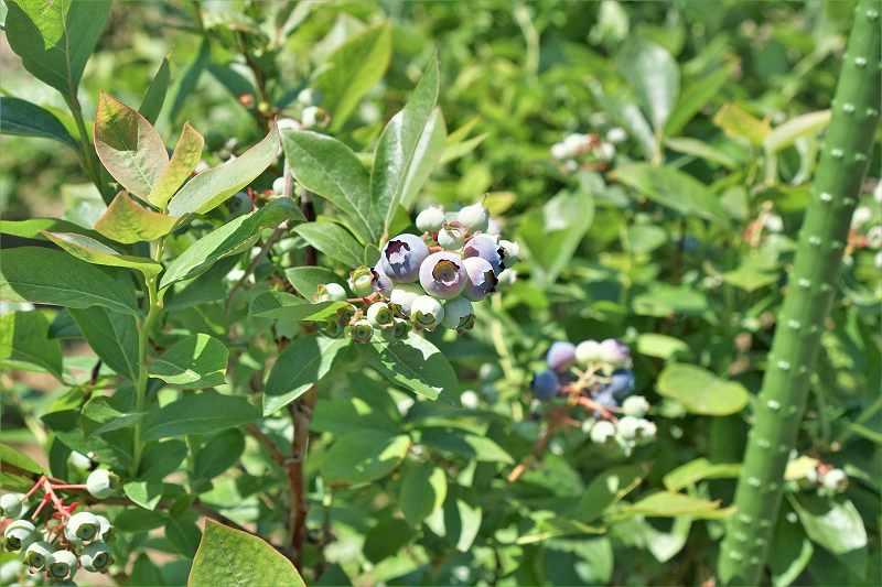 カンパーナ六花亭敷地内のブルーベリーの木