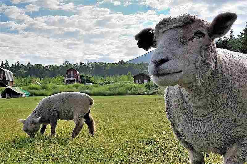 星に手のとどく丘キャンプ場の羊